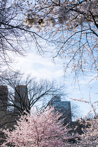 桜「Late afternoon sunlight illuminates the Cherry blossoms tree at Central park New York. Central Park West Historic Residences can be seen behind.」:スマホ壁紙(6)