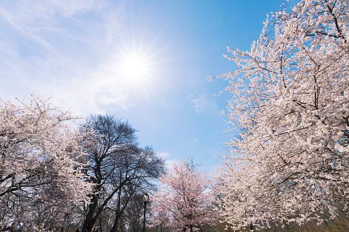 花「Late afternoon sunlight illuminates the Cherry blossoms trees at Central Park New York.」:スマホ壁紙(9)