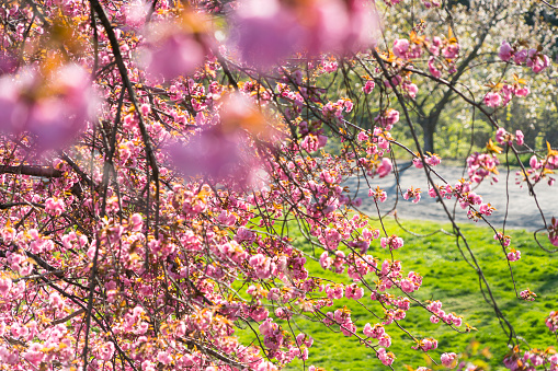 Cherry Blossom「Late afternoon sunlight illuminates the Cherry blossoms, lawn and the park path at Central Park New York.」:スマホ壁紙(15)