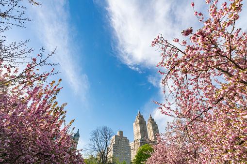 花「Late afternoon sunlight illuminates the full-bloomed Cherry blossoms trees, which stand on the lawn at Central Park New York. The San Remo and architectures of Central Park West Historic District can be seen behind Cherry blossoms.」:スマホ壁紙(16)
