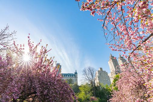 花「Late afternoon sunlight illuminates the full-bloomed Cherry blossoms trees, which stand on the lawn at Central Park New York. The San Remo and architectures of Central Park West Historic District can be seen behind Cherry blossoms.」:スマホ壁紙(12)