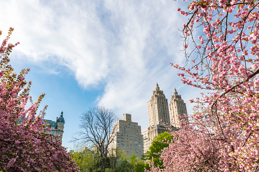 花「Late afternoon sunlight illuminates the full-bloomed Cherry blossoms trees, which stand on the lawn at Central Park New York. The San Remo and architectures of Central Park West Historic District can be seen behind Cherry blossoms.」:スマホ壁紙(13)