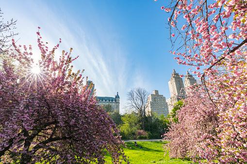 花「Late afternoon sunlight illuminates the full-bloomed Cherry blossoms trees, which stand on the lawn at Central Park New York. The San Remo and architectures of Central Park West Historic District can be seen behind Cherry blossoms.」:スマホ壁紙(14)