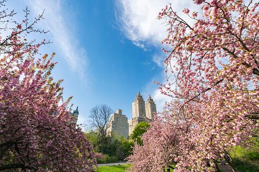 花「Late afternoon sunlight illuminates the full-bloomed Cherry blossoms trees, which stand on the lawn at Central Park New York. The San Remo and architectures of Central Park West Historic District can be seen behind Cherry blossoms.」:スマホ壁紙(4)