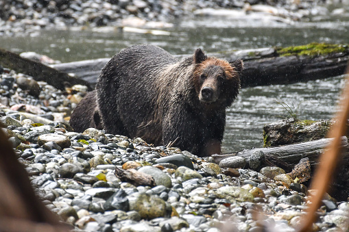 Bear Cub「Female Grizzly bear with her cub standing by the Campbell river, Vancouver, British Columbia, Canada」:スマホ壁紙(9)