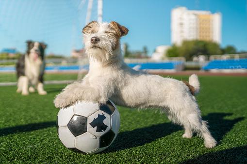 Sportsperson「Funny Jack Russell Terrier Soccer Player」:スマホ壁紙(18)
