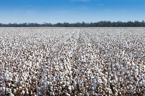 Crop - Plant「Cotton Harvest」:スマホ壁紙(6)