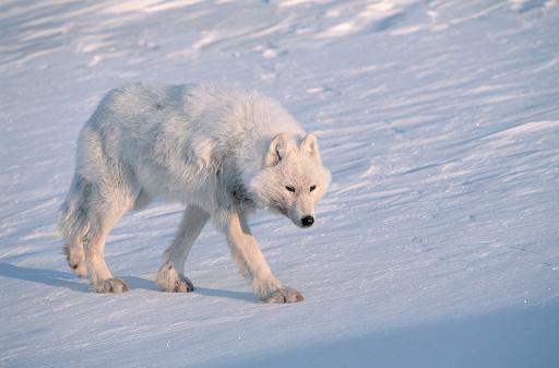 Nunavut「Arctic Gray Wolf Walking on Snow」:スマホ壁紙(15)
