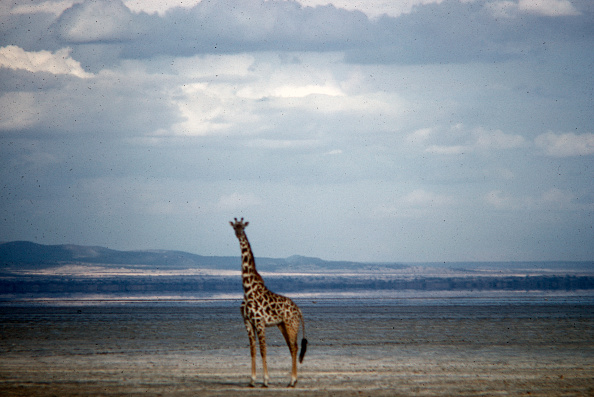 野生動物「Giraffe In Tanzania」:写真・画像(1)[壁紙.com]