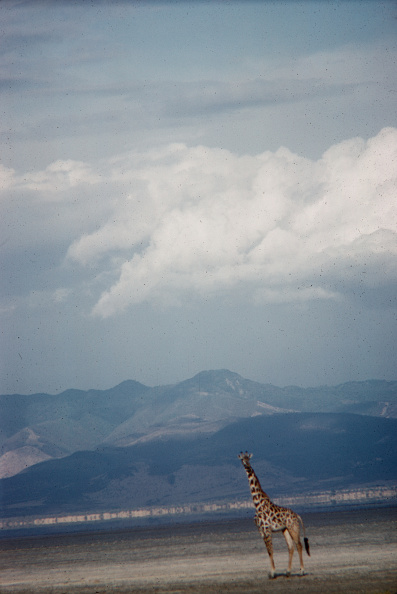 野生動物「Giraffe In Tanzania」:写真・画像(15)[壁紙.com]