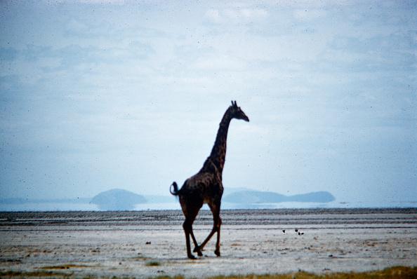 野生動物「Giraffe In Tanzania」:写真・画像(11)[壁紙.com]