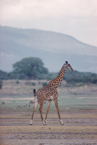 野生動物「Giraffe In Tanzania」:写真・画像(10)[壁紙.com]