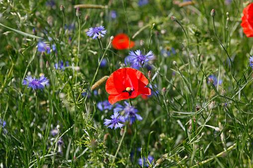 月「Poppies and cornflowers on a meadow」:スマホ壁紙(10)