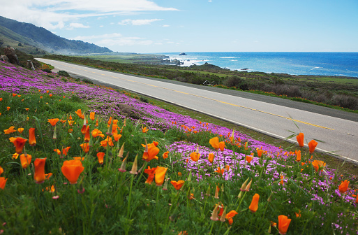 Big Sur「Poppies and ice plants bloom along the Big Sur Route 1; California, United States of America」:スマホ壁紙(7)
