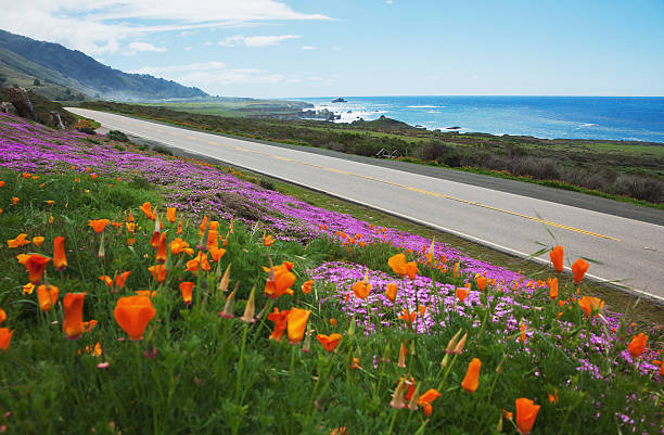 Poppies and ice plants bloom along the Big Sur Route 1; California, United States of America:スマホ壁紙(壁紙.com)