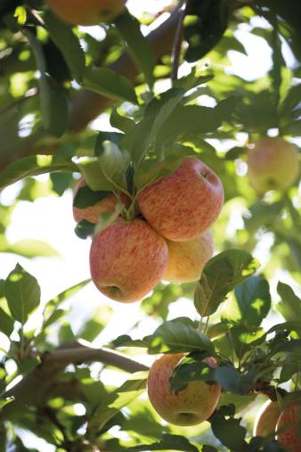 ローヤルガラ「Royal gala apples in a tree」:スマホ壁紙(13)