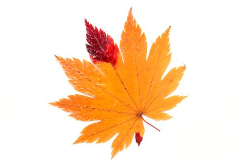 Japanese Maple「Leaf」:スマホ壁紙(15)