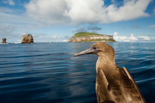 ガラパゴス諸島「Blue-footed Booby, Galapagos, Ecuador.」:スマホ壁紙(15)