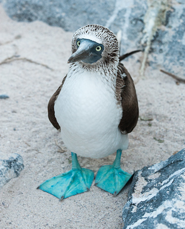 Animals In The Wild「Blue-footed Booby standing on sand on Espanola the Galapagos」:スマホ壁紙(4)