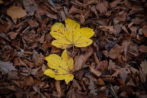 セイヨウカジカエデ「Sycamore leaves in autumn」:スマホ壁紙(8)
