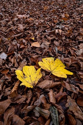 セイヨウカジカエデ「Sycamore leaves in autumn」:スマホ壁紙(9)