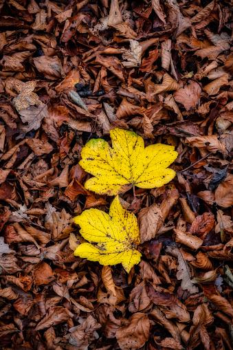 セイヨウカジカエデ「Sycamore leaves in autumn」:スマホ壁紙(18)