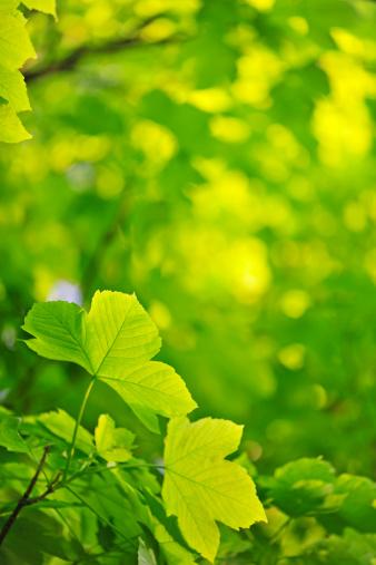 セイヨウカジカエデ「Sycamore leaves」:スマホ壁紙(12)