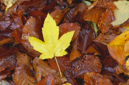 セイヨウカジカエデ「Sycamore leaf in autumn」:スマホ壁紙(15)