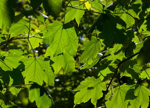 セイヨウカジカエデ「Sycamore leaves」:スマホ壁紙(4)