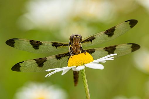 とんぼ「Female Blue Dasher dragonfly on daisy (Pachydiplax longipennis), Kentucky, USA」:スマホ壁紙(10)