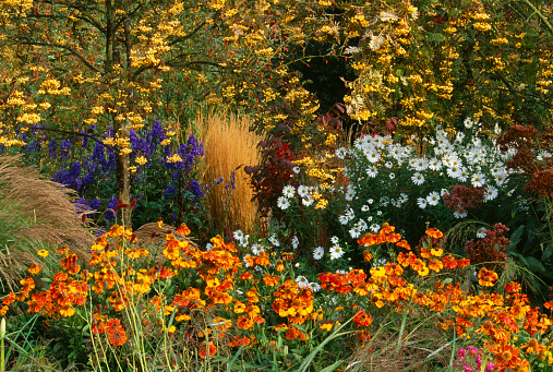Aster「Autumn border with Sorbus 'Joseph's rock', Calamagrostis 'Karl Foerster', Helenium 'Sahins early flowerer', and Chrysanthemum uliginosum」:スマホ壁紙(9)
