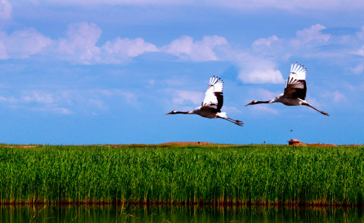 "Heilongjiang Province「""Red-crowned cranes (Grus japonensis),Heilongjiang,China""」:スマホ壁紙(4)"
