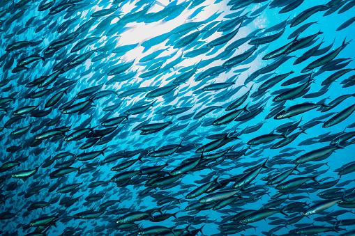 Ecosystem「More Fish than Water! Large School of Blue Streak Fusiliers, Komodo National Park, Indonesia」:スマホ壁紙(10)