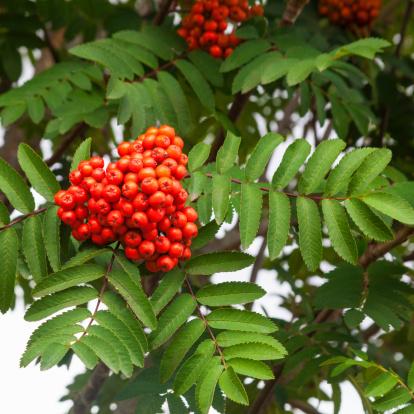 Rowan Tree「Red rowan berries, Scotland」:スマホ壁紙(6)