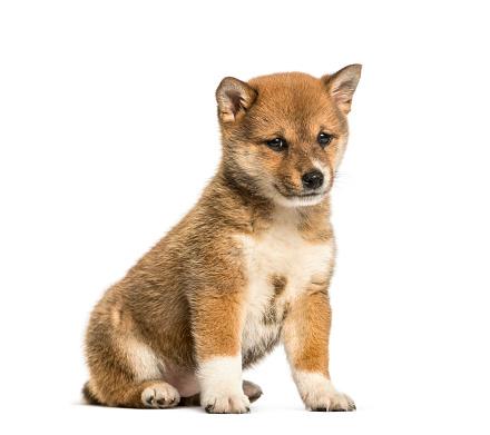 Belgium「Shiba Inu puppy, 8 weeks old sitting against white background」:スマホ壁紙(9)