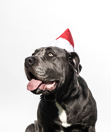 Charitable Foundation「Neapolitan Mastiff Mix Wearing a Christmas Hat - The Amanda Collection」:スマホ壁紙(16)