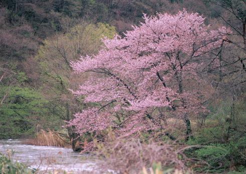 Cherry Blossom「Wild Cherry Tree」:スマホ壁紙(0)