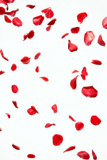 Petal of red rose where it dances freely:スマホ壁紙(壁紙.com)