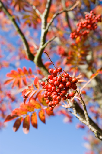 Rowanberry「Rowanberries on tree」:スマホ壁紙(18)