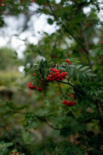 Rowanberry「Rowanberries on a branch」:スマホ壁紙(14)