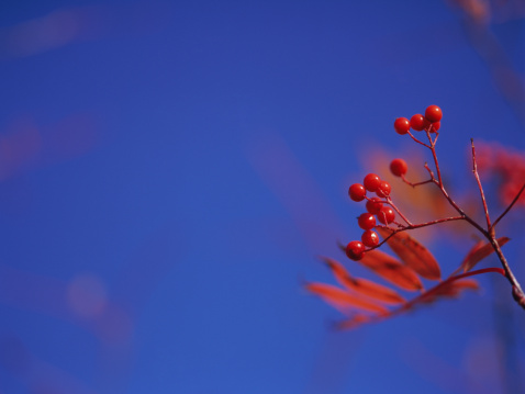 Rowanberry「Rowanberries」:スマホ壁紙(4)