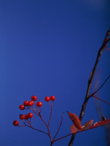 Rowanberry「Rowanberries」:スマホ壁紙(16)