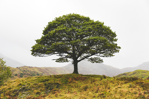 Natural Parkland「United Kingdom, England, Cumbria, Lake District, lone tree in the countryside」:スマホ壁紙(8)