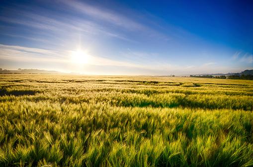 East Lothian「United Kingdom, Scotland, East Lothian, Barley field, Hordeum vulgare, against the morning sun」:スマホ壁紙(11)
