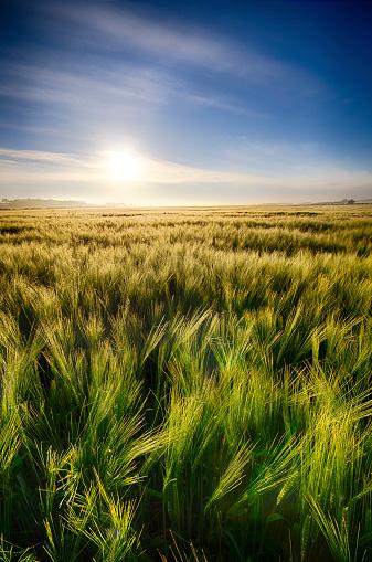 East Lothian「United Kingdom, Scotland, East Lothian, Barley field, Hordeum vulgare, against the morning sun」:スマホ壁紙(18)