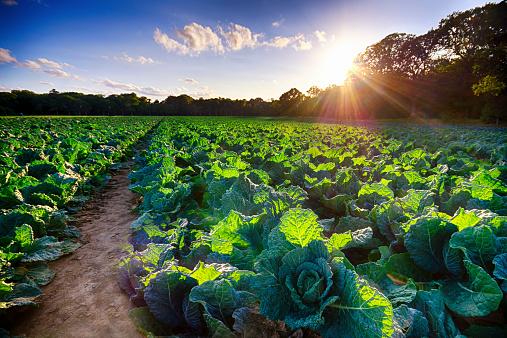 East Lothian「United Kingdom, Scotland, East Lothian, Field, Savoy Cabbage」:スマホ壁紙(2)