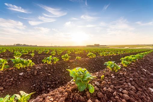 East Lothian「United Kingdom, Scotland, East Lothian, field of young potatoes, Solanum tuberosum」:スマホ壁紙(11)