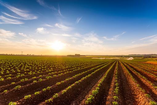 East Lothian「United Kingdom, Scotland, East Lothian, field of young potatoes, Solanum tuberosum」:スマホ壁紙(14)