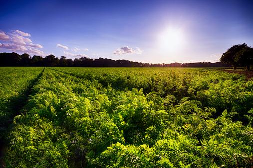 Carrot「United Kingdom, Scotland, East Lothian, Field, Carrots, Daucus Carota」:スマホ壁紙(8)