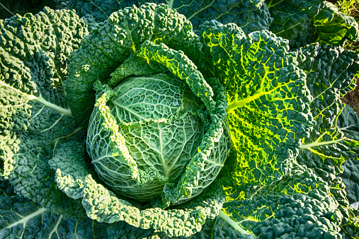 East Lothian「United Kingdom, Scotland, East Lothian, North Berwick, Savoy Cabbage, Brassica oleracea var. sabauda L」:スマホ壁紙(3)